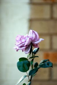 A Dry Pink Rose